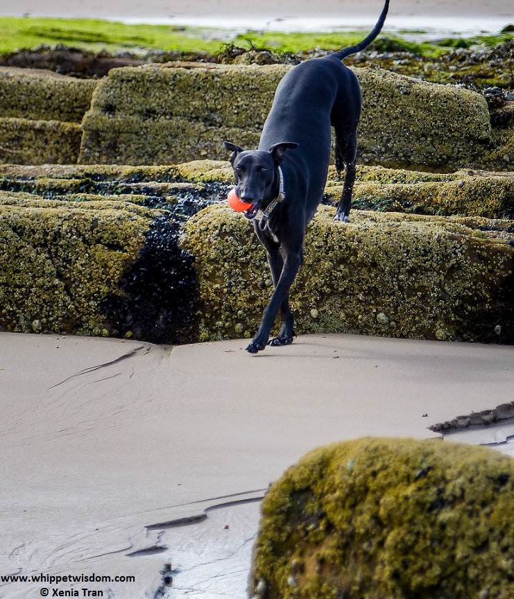 black whippet jumping from rocks onto tidal sand with an orange ball