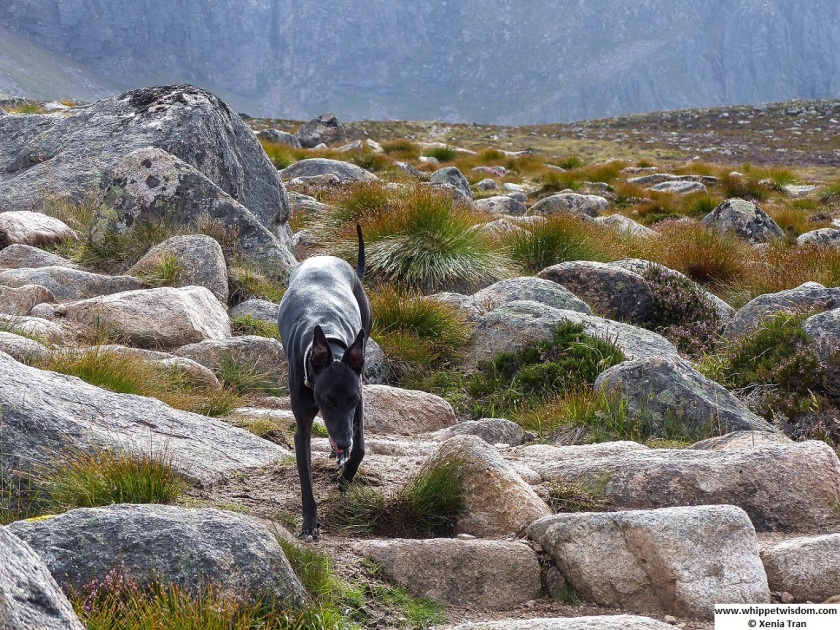 Black whippet climbing down large boulders on mountain