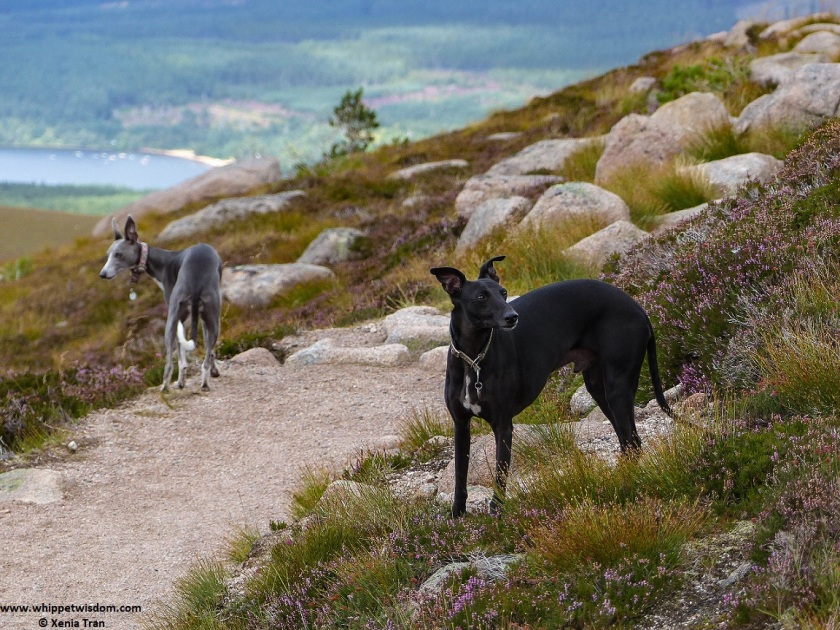 two whippets on mountain trail