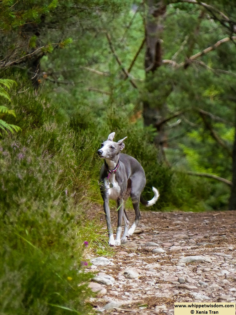blue whippet on a forest trail