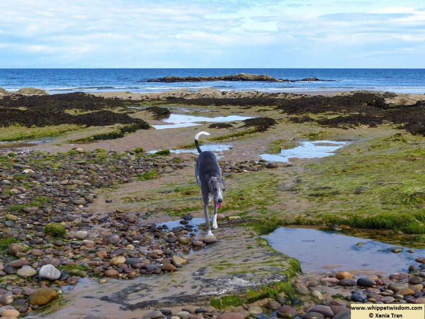 blue whippet among tidal rock pools with seaweed and river stones