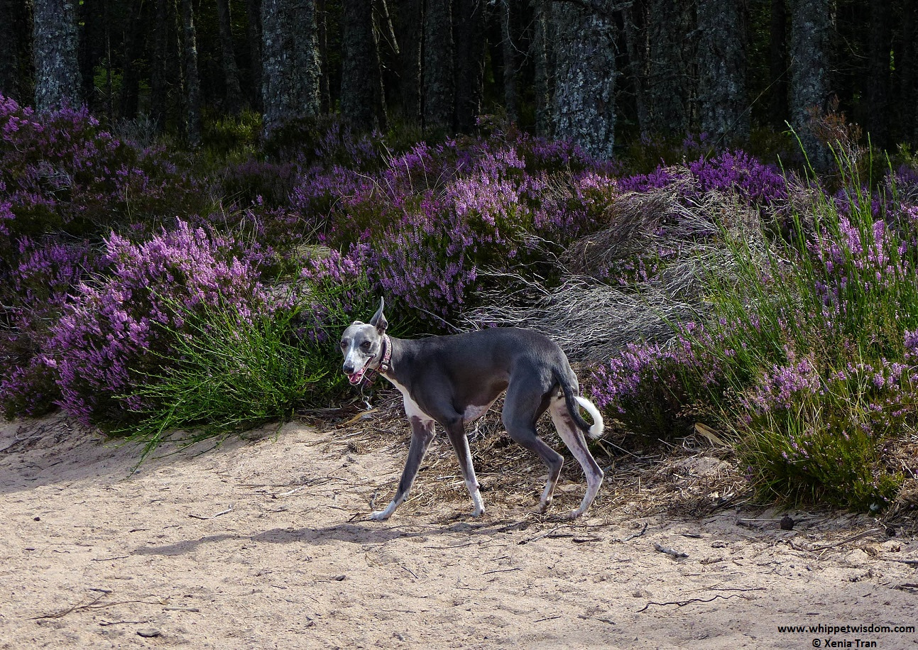 blue whippet on forest trail with purple heather