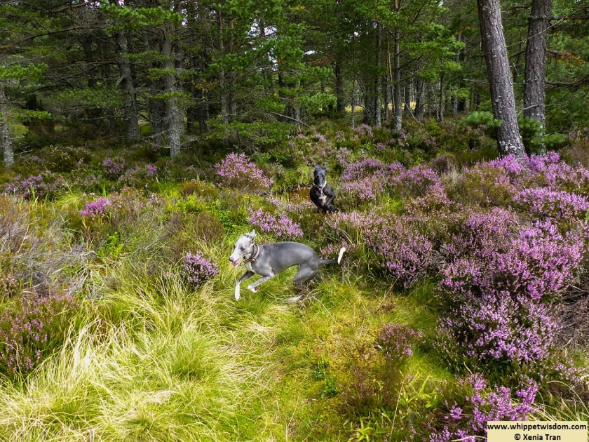 two whippets running forest wiht purple heather