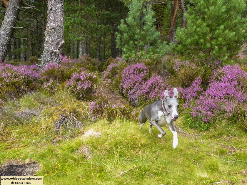 blue whippet running through forest with purple heather