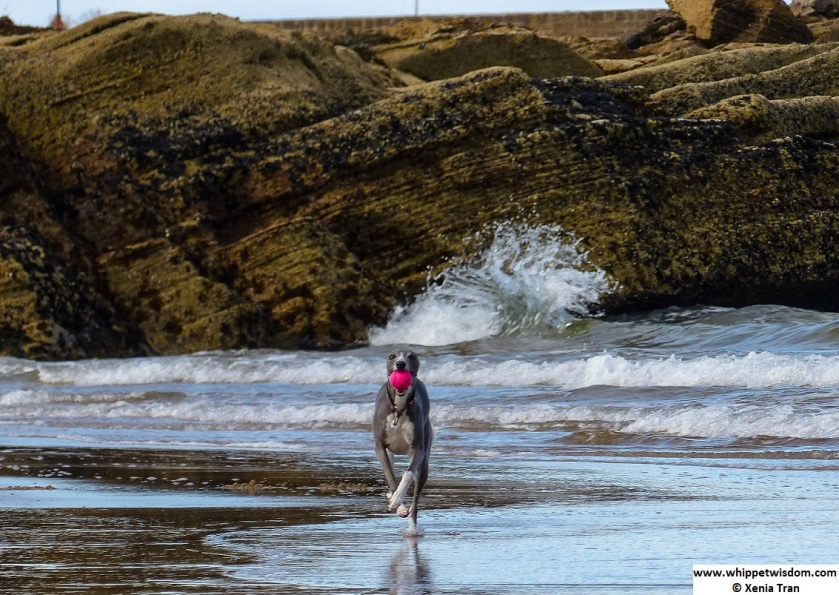 blue whippet running with a pink ball with a wave splashing against the rocks in the background