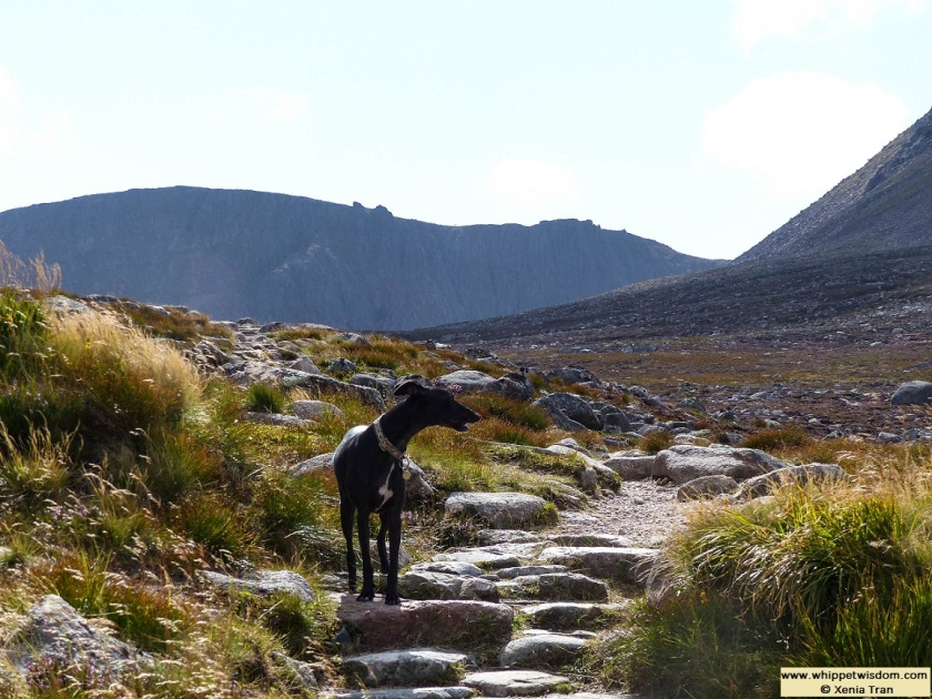 black whippet on a mountain trail