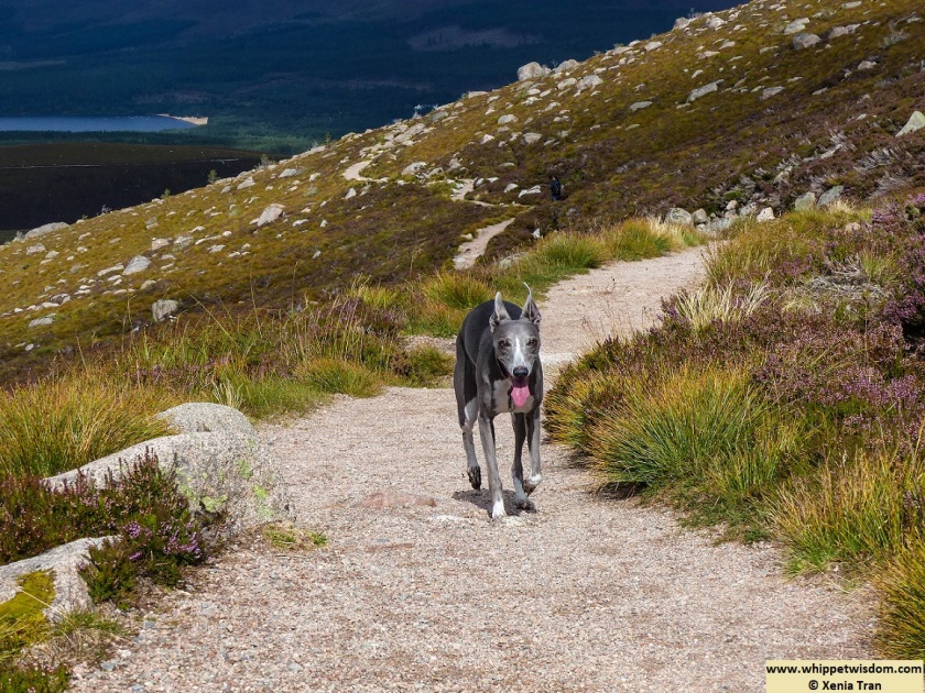 blue whippet on mountain trail