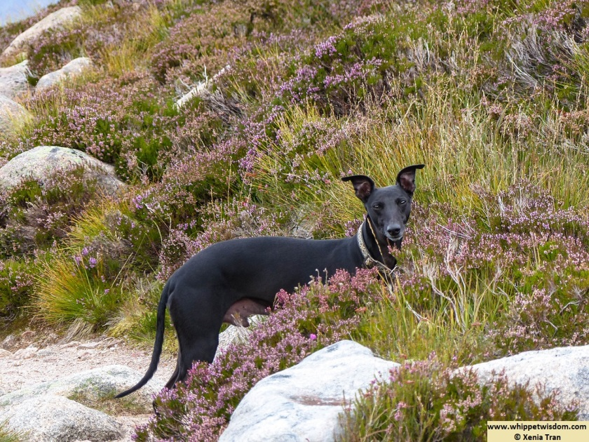black whippet on mountain trail with heather