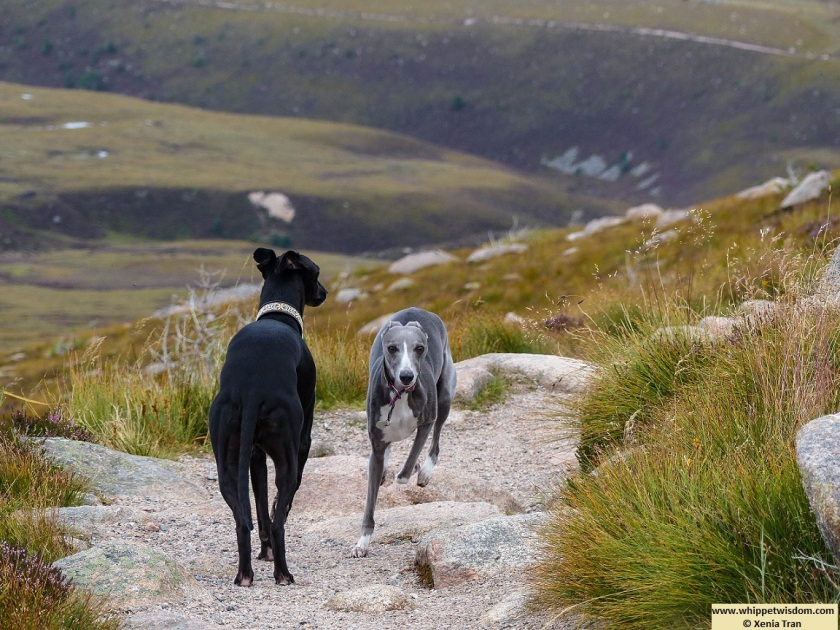 two whippets on a mountain trail