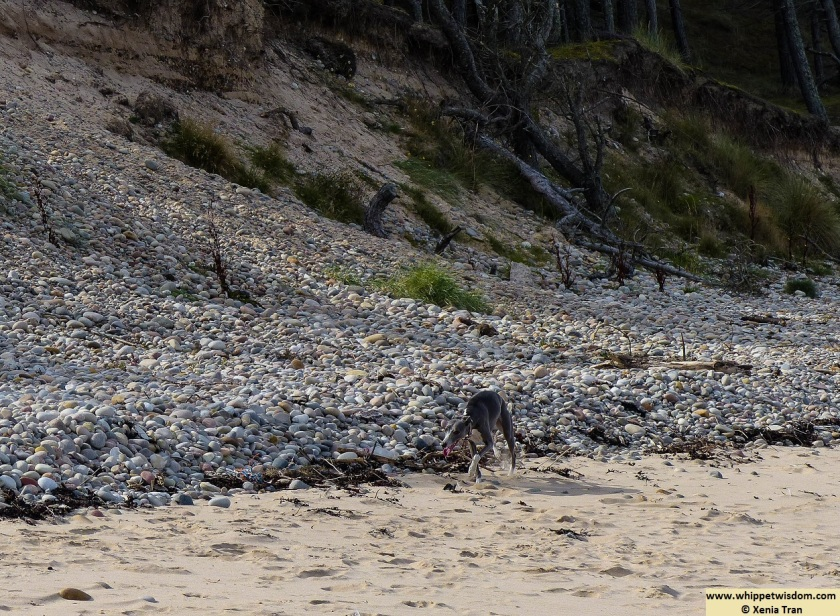 blue whippet on the beach in morning sun, walking along the dunes and stones