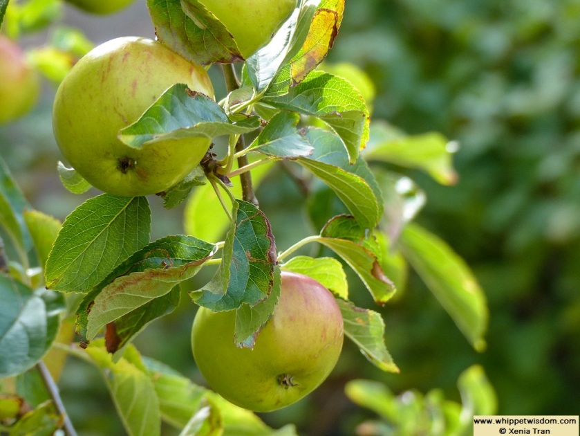 apples ripening on a tree