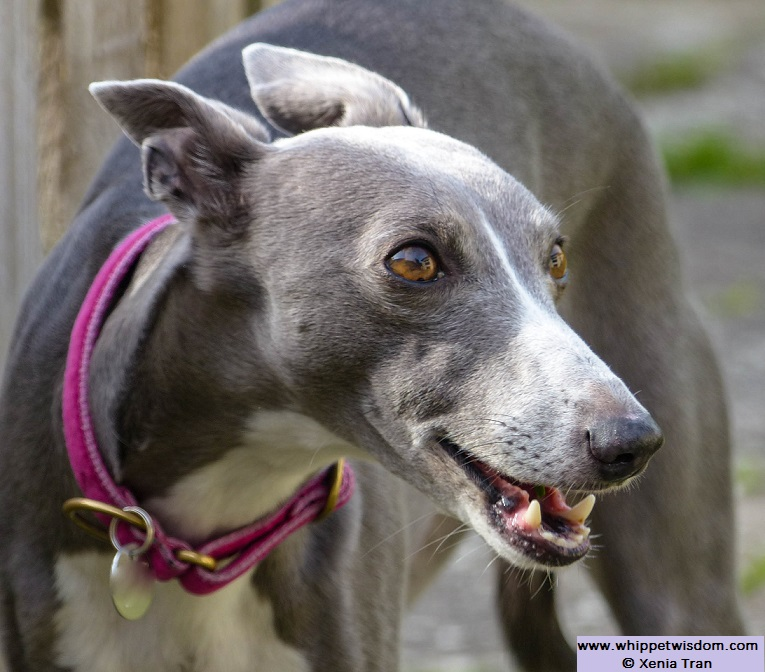 blue whippet smiling in garden