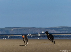two whippets running on a sand bar