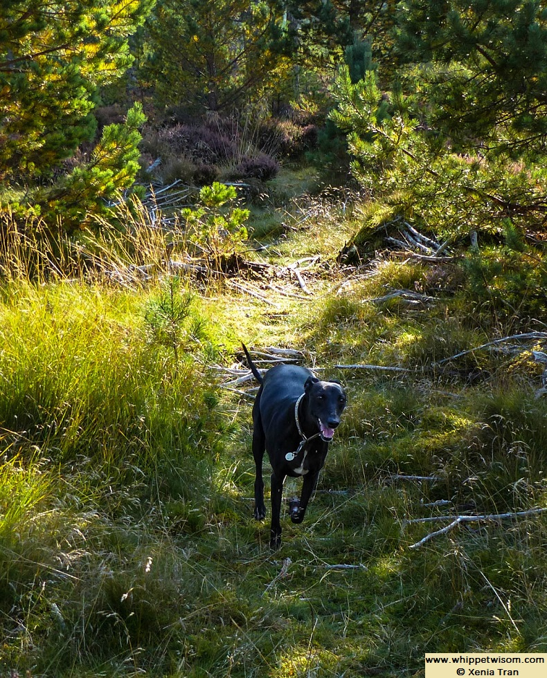black whippet running through forest glen