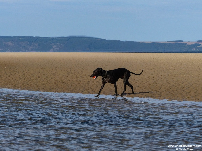 black whippet with an orange ball on a sand bar