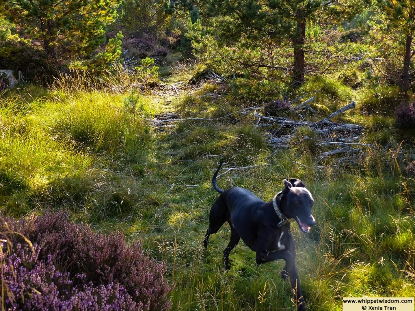 black whippet running on forest trail in autumn light
