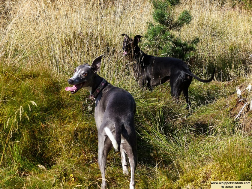 two whippets on forest trail in autumn light