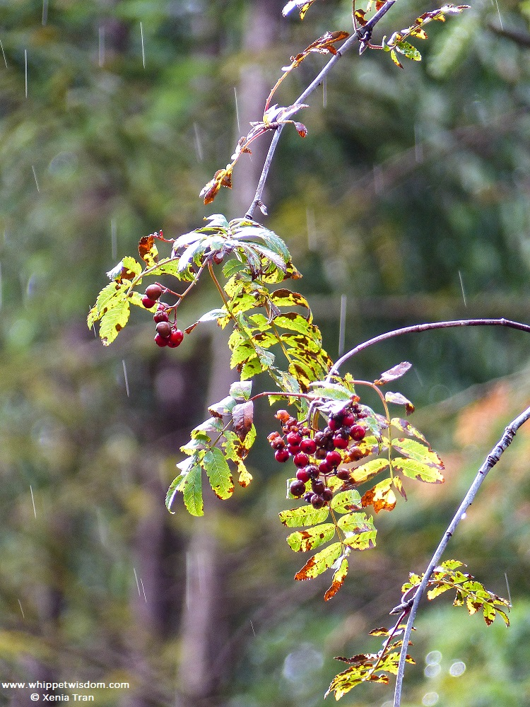 autumn leaves and berries in the rain