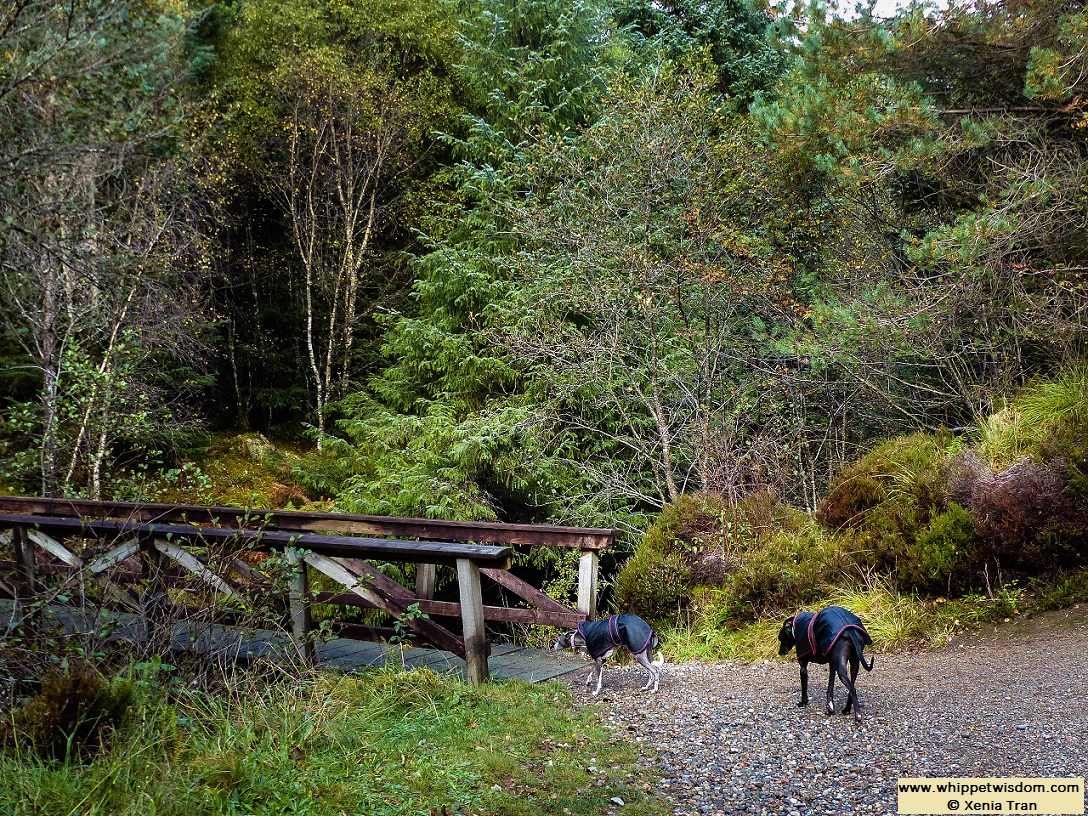 two whippets in black coats approaching a wooden bridge