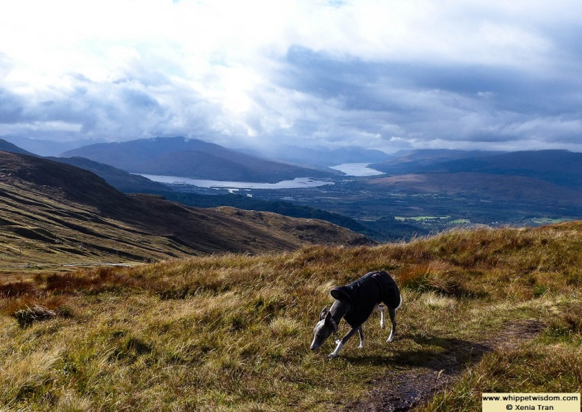 blue whippet in black raincoat on Aonoch Mor, overlooking Loch Linnhe and Loch Eil