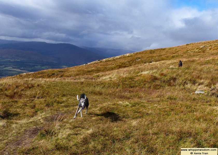 two whippets in black coats running down Sgurr Finnisg-aig