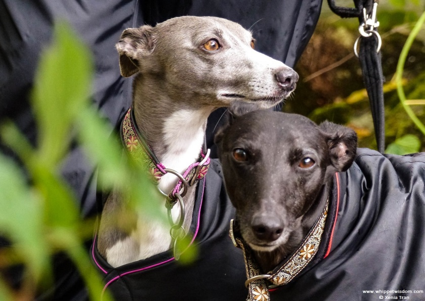two whippets in black rain coats