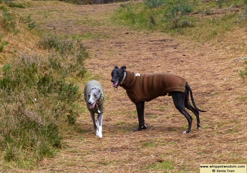 two whippets in jumpers on forest trail in autumn