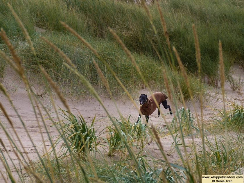 black whippet in a brown jumper running through the dunes