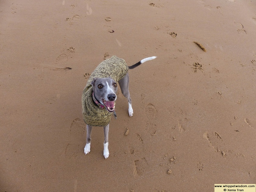 blue whippet in woolly jumper on the beach