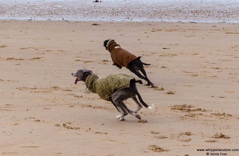 two whippets in woolly jumpers running on the beach