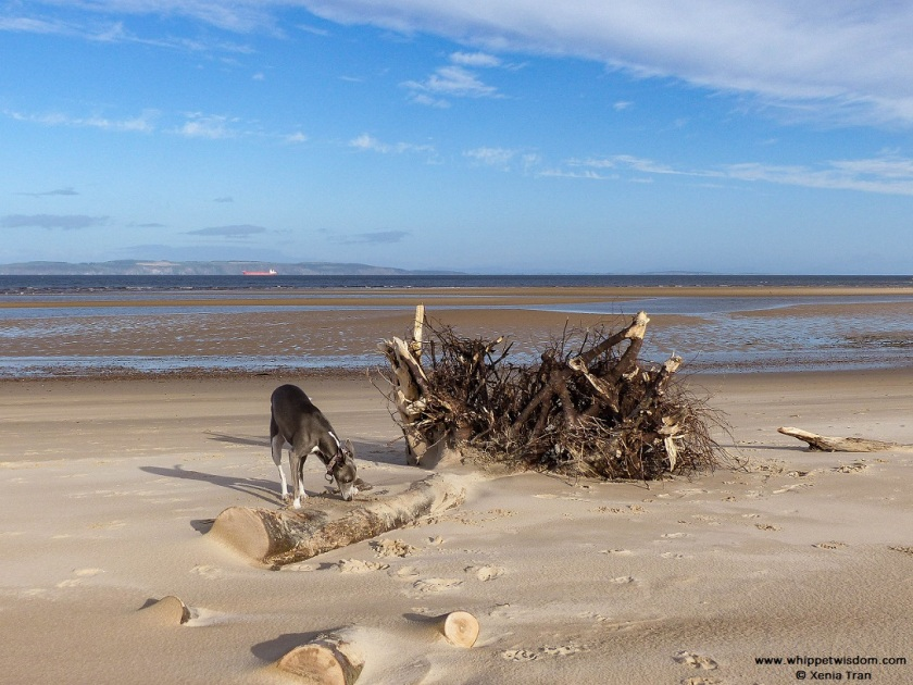 blue whippet on beach at low tide with tree roots and driftwood