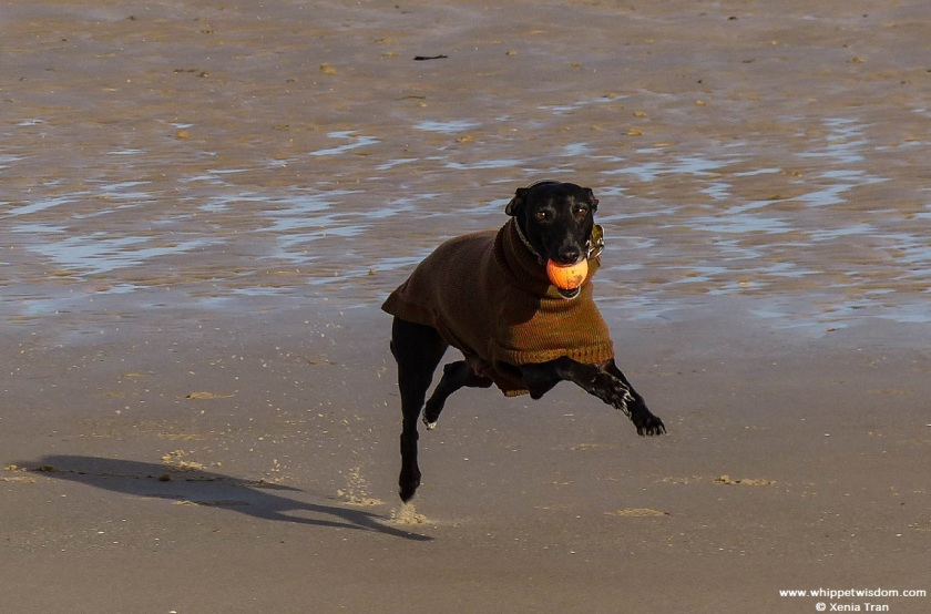 black whippet in autumn jumper running on tidal sands with an orange ball