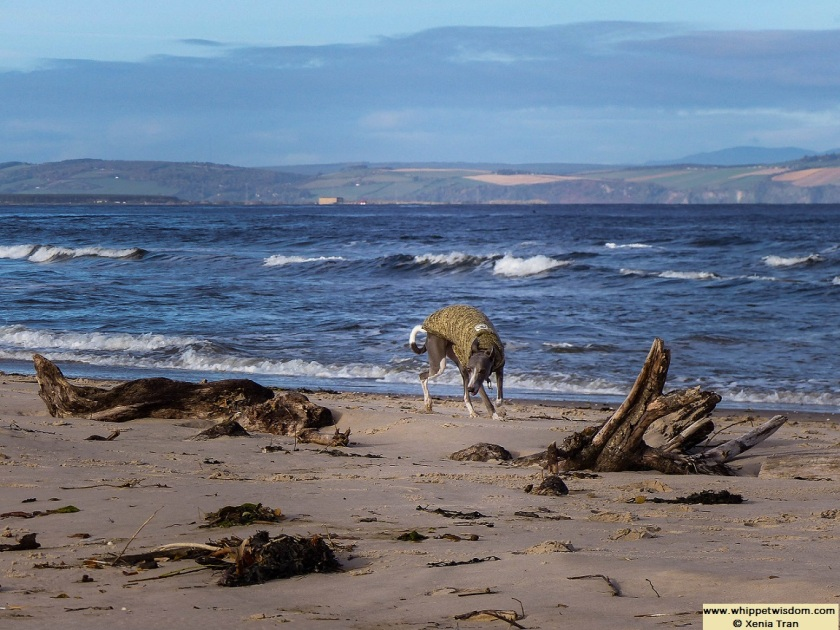blue whippet in jumper with driftwood on beach and rolling breakers