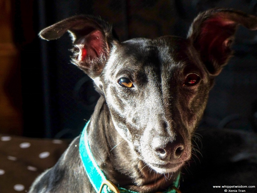 portrait image of black whippet with a green collar