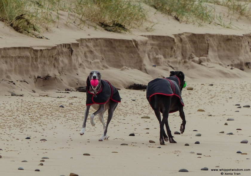 two whippets running with balls along the dunes
