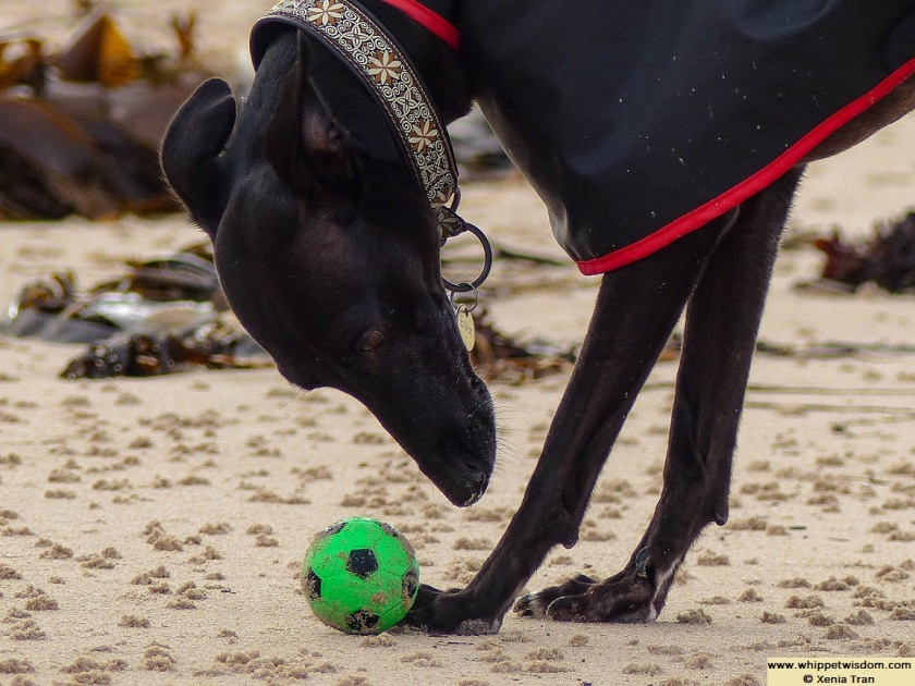 a black whippet in a black raincoat with a green ball on the beach at low tide