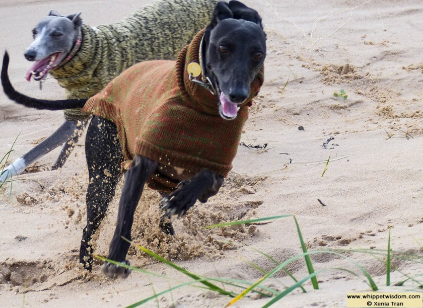 two whippets in winter jumpers running through deep sand
