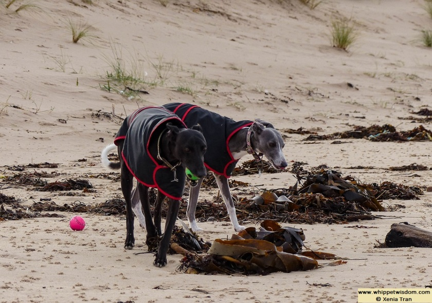 black whippet and blue whippet in black jackets on the beach