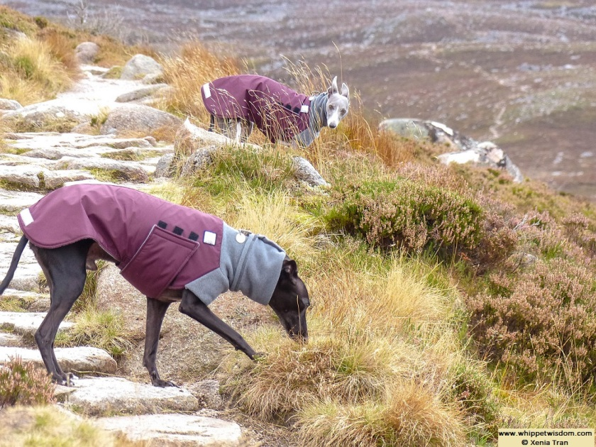 two whippets in winter coats on mountain trail among golden heather
