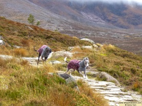 two whippets in winter coats running on a mountain trail in autumn