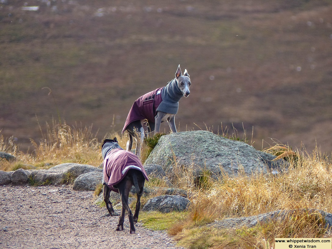 two whippets in Winter coats on mountain trail in Autumn