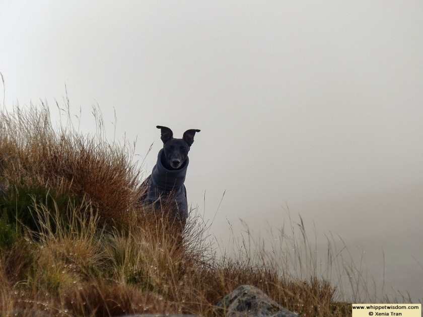 black whippet in winter coat peeking over some mountain grass in cloud and mist