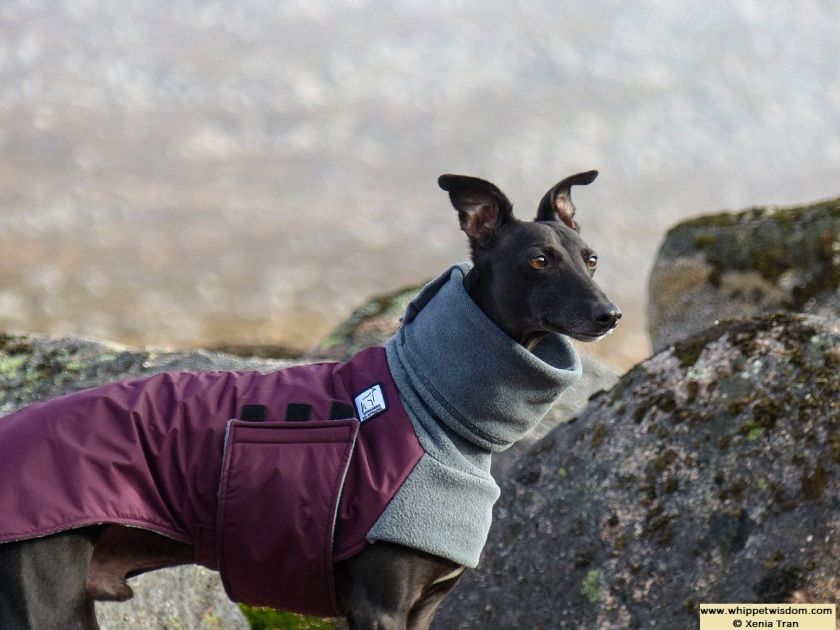 black whippet in winter jacket on mountain trail