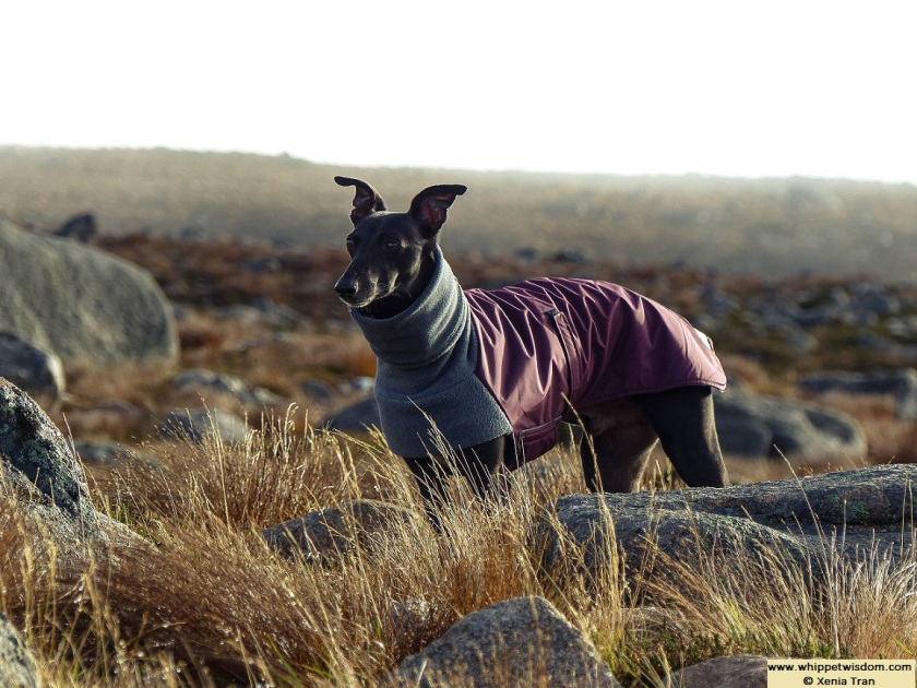black whippet in winter coat on mountain top with cloud and mist rising in Autumn