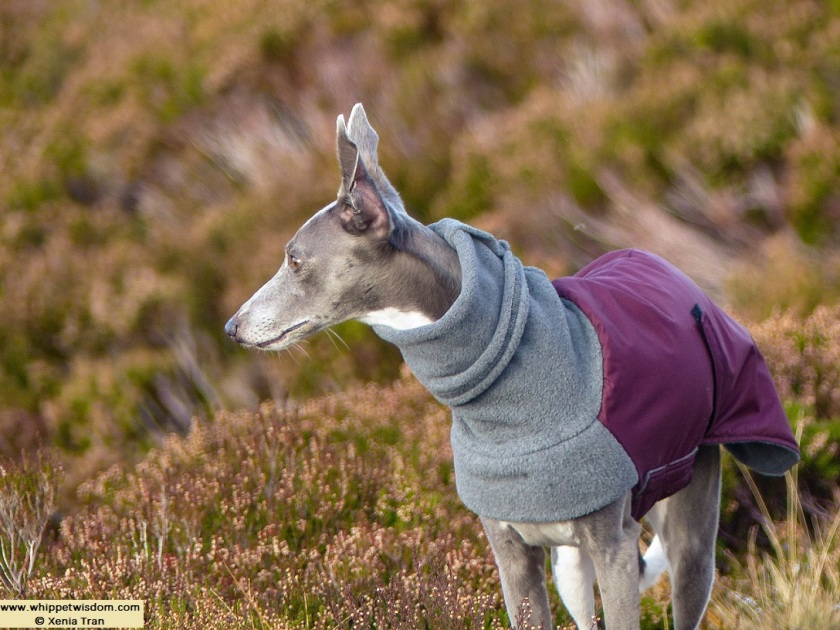 blue whippet in burgundy/grey wintercoat on mountain trail