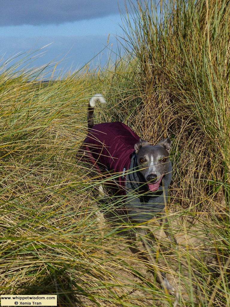 blue whippet in winter coat running through bent grass in dunes