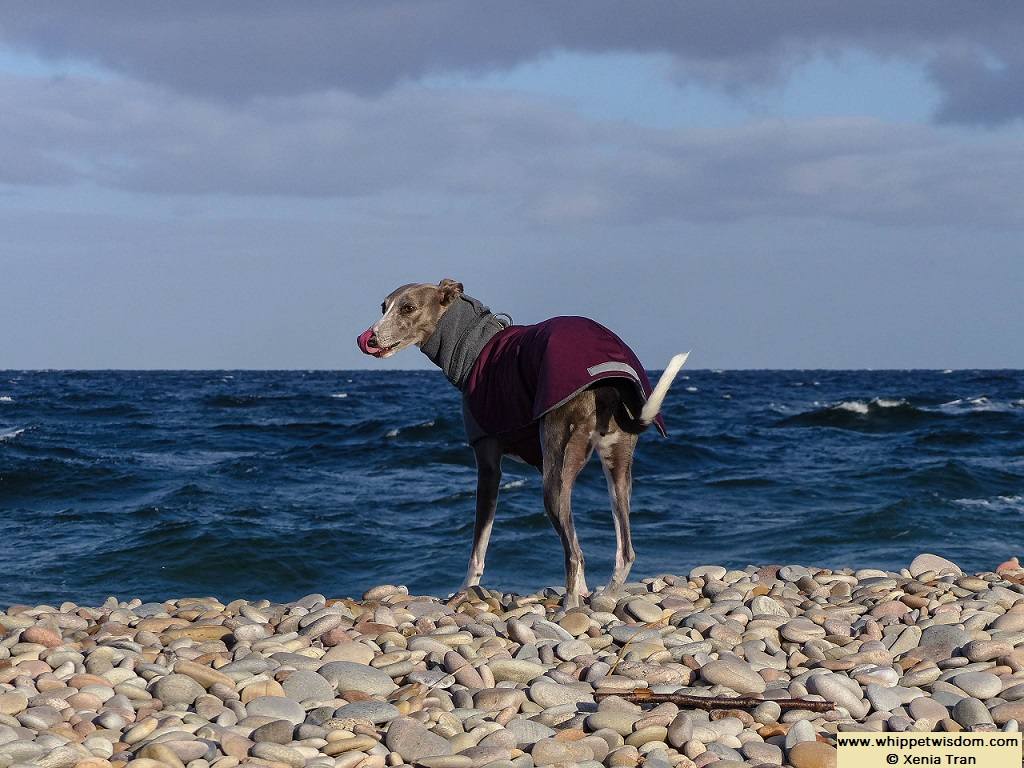 blue whippet in winter coat on pebbled shore at high tide