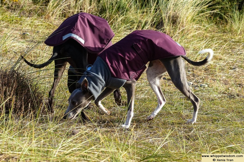 two whippets in winter coats among bent grass in dunes