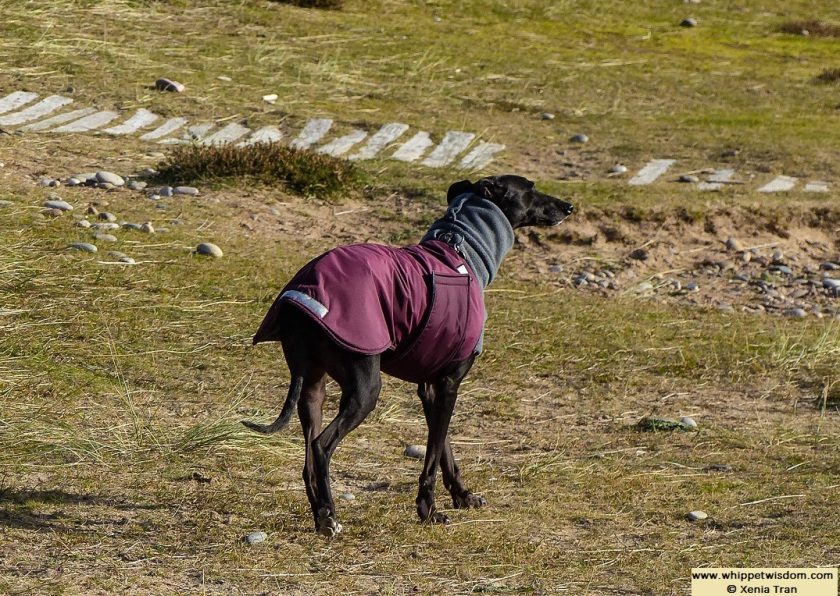 black whippet in winter coat walking in the dunes