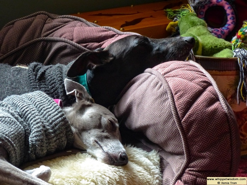 two whippets in winter jumpers asleep in their dog bed
